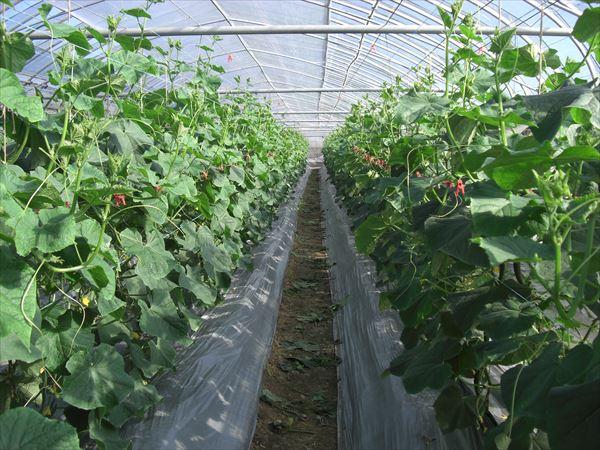 キュウリ農家 ハウス栽培