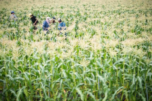 スイートコーン農家 畑