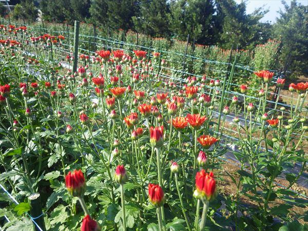 菊 露地栽培