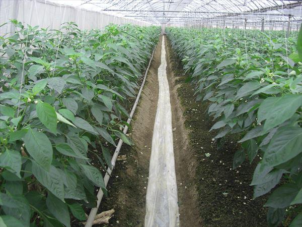 ピーマン農家 ハウス栽培