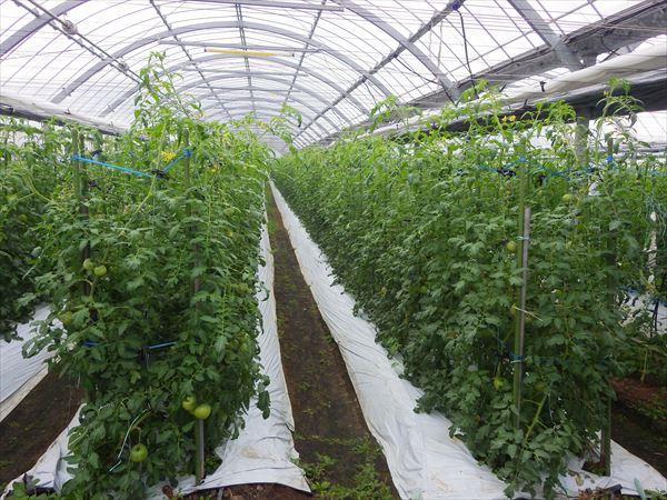 トマト農家 ハウス栽培